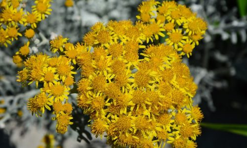 everlasting-flowers-5596712_1280